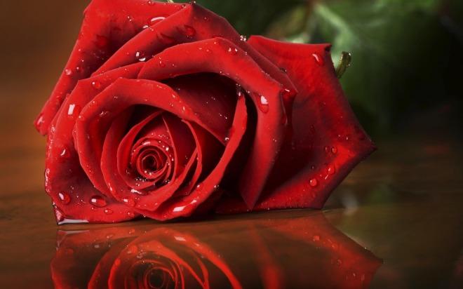 trandafir_rosu_cu_roua